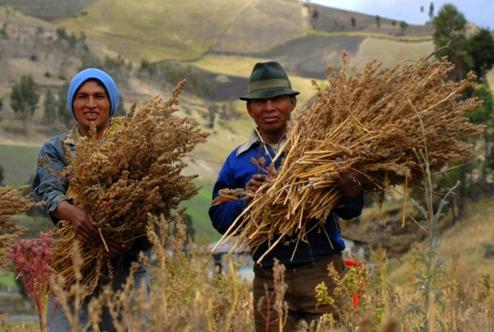 Quinoa Craze Inspires North America To Start Growing Its Own : The Salt : NPR