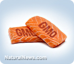 FDA secretly legalizes GM salmon during holidays while nobody was watching