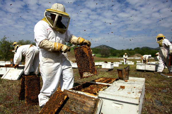 Soaring Bee Deaths in 2012 Sound Alarm on Malady - NYTimes.com